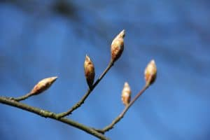 Spring. Budding branches.